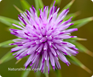 The many benefits of milk thistle.
